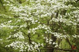 White Dogwoods in Bloom - Advertising photographers in Branson Missouri, Branson Missouri photography
