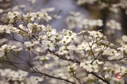 A cluster of white dogwood flowers bloom in the spring. - Advertising photographers in Branson Missouri, Branson Missouri photography
